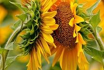 Sunflowers / by Amy Eshelman