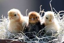 Chickens & other critters / by Terri Kroth