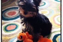 Emerson! Woof! / Puppy stuff and ideas for my Yorkshire Terrier puppy, Emerson! / by Meriwether Snipes