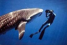 Whale shark / by usagi nomedama