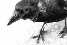 Crow / by usagi nomedama