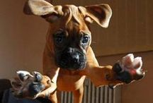 BOXER Love / by Debbie Evans Baggett