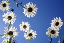 Daisies=Happiness / by Carol Nonmacher
