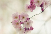 ✿⊱Blossoms /  Beautiful springtime and the blossoms are blooming! / by Marja Schwedler