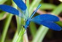 Dragonfly / by Helen Davis
