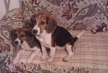 My heart belongs to beagles / by Connie Bardo-Whitlow