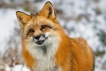 Love Fox / For my favorite animal / by Randi D'Ambrosia