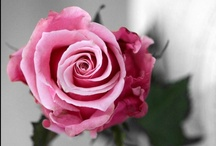 Roses / by Francolletta