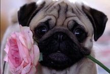 Animals - Pugs / by Asra Normag