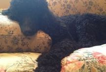 "I Adore Standard Poodles / I always have and always will,especially                ""My Standard Poodle Abby"" / by Jody Troiano"