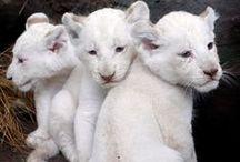 Saving the White Lions #savethewhitelions / by NAB Communities
