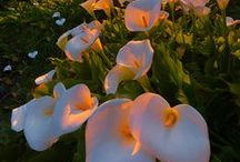 Belles Fleurs / The creative canvas of botanical art / by Di Locke-Carmichael