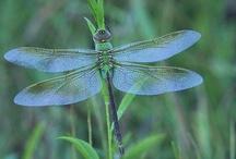 Les Papillons, les Mites et les Libellules / So love these evolutionary archetypes! / by Di Locke-Carmichael