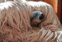 Afghan Hounds / funny pictures of hairy dogs / by claire charmant