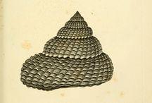 shells / seashells * ammonite fossils * conchology / by liz