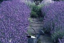 ~Lavender~ / by Lori Parker