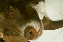 My Pittie!  <3 / A few pix of MY dog... and pics promoting Pit Bulls and Pit Bull Love... ahhh / by Kris Weir