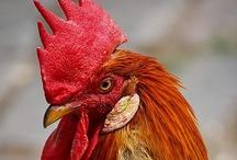 Chickens / by Kristy Larson