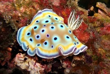 "Nudibranchs / The name nudibranch comes from the Latin nudus, which means ""naked"" and the Greek brankhia, which means ""gills"". / by Marilyn Osborne"