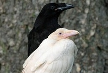 Ravens and Crows / by Allison Turner
