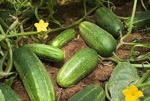 garden food cucumber / by Lila Wickham