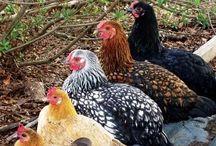 Chickens / by Stephanie Dagenais