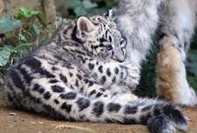 Snow Leopard Cubs / by Snow Leopard Trust