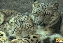 Snow Leopard Videos / by Snow Leopard Trust