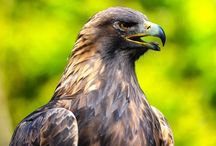 Falcons, Hawks & Eagles / No sports teams here / by Christine Licker