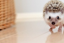Hedgy / We are talking about getting another hedgehog! We miss Almond a lot! They are sooo darling.  / by Makaila Borrell