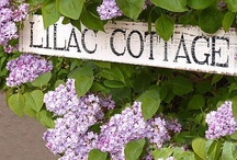 Lilacs / For the love of lilacs.  I can almost smell their lovely fragrance. / by Diane Seltzer