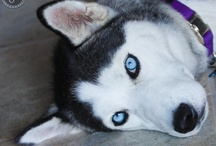 Siberian Huskys / So Smart.......Truly just kids with fur. / by Carol Anderson