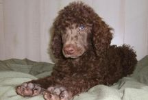 My Standard Poodle / by Bianca Roberts
