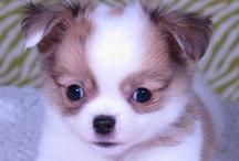 Chihuahuas / by Crysta Kern
