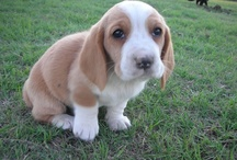Basset Hounds / by Crysta Kern