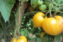 Our Tomato and Vegetable Gardens / Please invite other Gardening Pinners to this board. It is all about tomato and vegetable gardening. You can also find a Google+ Gardening Community by the same name. You are welcome to visit, join and talk with gardeners from all around the world. / by The Rusted Vegetable Garden