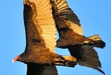 Buzzards / by Denison University