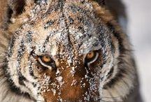 Panthera / by Hashim Madani