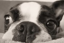 Boston Terriers / by Tiffany Bennett