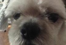 Sadie-Hadie-Sparky-Dogs! / Shihtzu + / by Belynda J. Shadoan