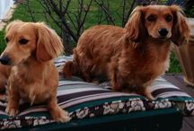 All things...DOG (Dachshunds) / ( well mostly dachshunds as they rule) / by Denise Chappell