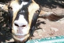 Goats, Chickens, Garden, Home Remedies and Homestead / by Anita Grimm Hohl