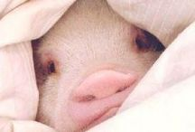 ☮ Adorable Pigs and Piglets ! / Animals are not simply food products, but individuals capable of feeling and with the desire to enjoy their lives. An animal's life is as important and irreplaceable to them, as ours is to us...The word vegan includes every sentient being in its circle of concern and addresses all forms of unnecessary cruelty from an essentially ethical perspective, is a manifestation of the yearning for universal peace, justice, wisdom, and freedom / by Veronika Marchina