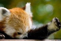 Red Panda / by A.D. Sams