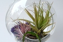 Terrariums and Air Plants / Little glass worlds of botanical delight #airplants / by Sow & Dipity
