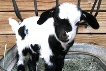 Goats <3 / by Tiffani Couch