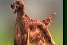 SETTERS! SETTERS!! SETTERS!! / Owner of Irish, English and Gordon Setters! Different personalities-- I love them ALL!!! / by Kathleen Keiley Baldwin