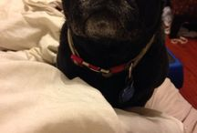 Pugs are people too! / by Allison Ziemba