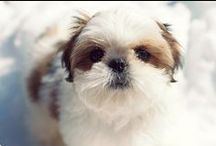 Shih TZU's / by Carrie McDowell Hodge