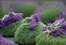 Lavender & Mint Farm of My Future / by Merrilee Anderson
